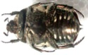 [Protaetia aurichalcea]identification cétoine Cetoin11