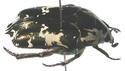 [Protaetia aurichalcea]identification cétoine Cetoin12
