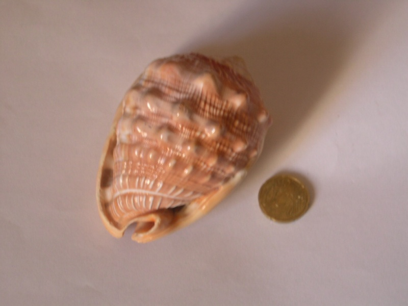 [résolu]Cypraecassis rufa (Linné, 1758) Dscn3717