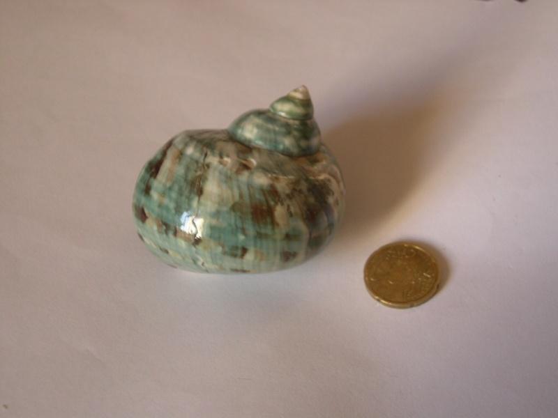 [résolu]Turbo marmoratus Linné, 1758 Dscn3719