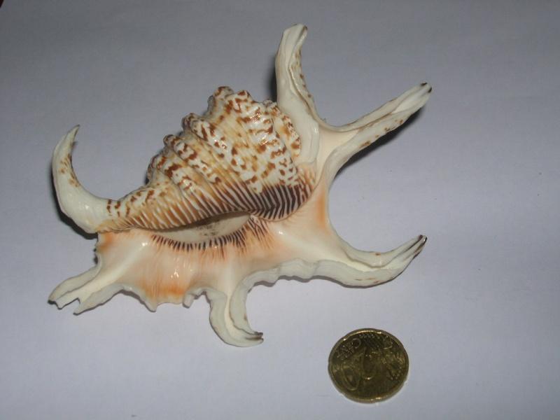 [résolu]Strombus lambis chiragra chiragra, Linné 1758 Dscn3728