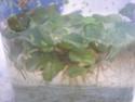Plantes d'eau Dscn6010