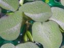 Plantes d'eau Dscn6113