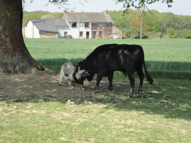 Fadjen, taureau sauvé de la corrida Dsc04410