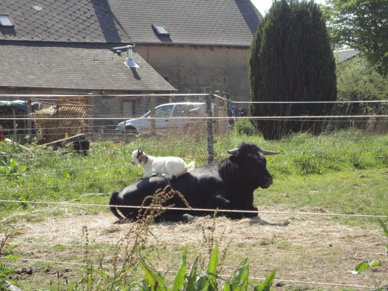 Fadjen, taureau sauvé de la corrida Dsc04510
