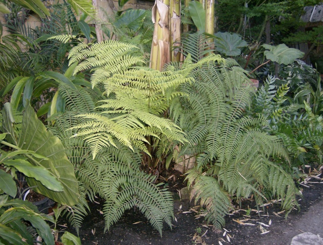 Cyathea australis Photo_15