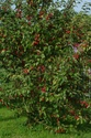 Pommiers d' ornement. Par choupette Img_1410