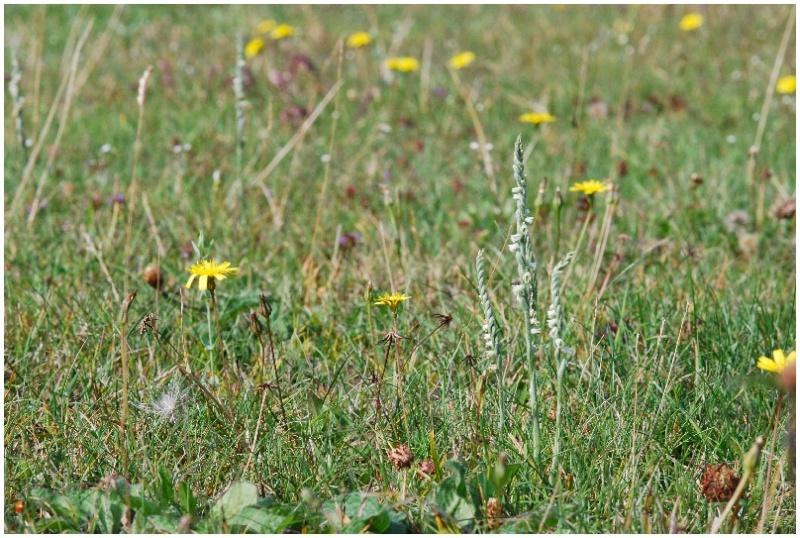 Spiranthes spiralis  ( Spiranthe d'automne ) Dsc_0010