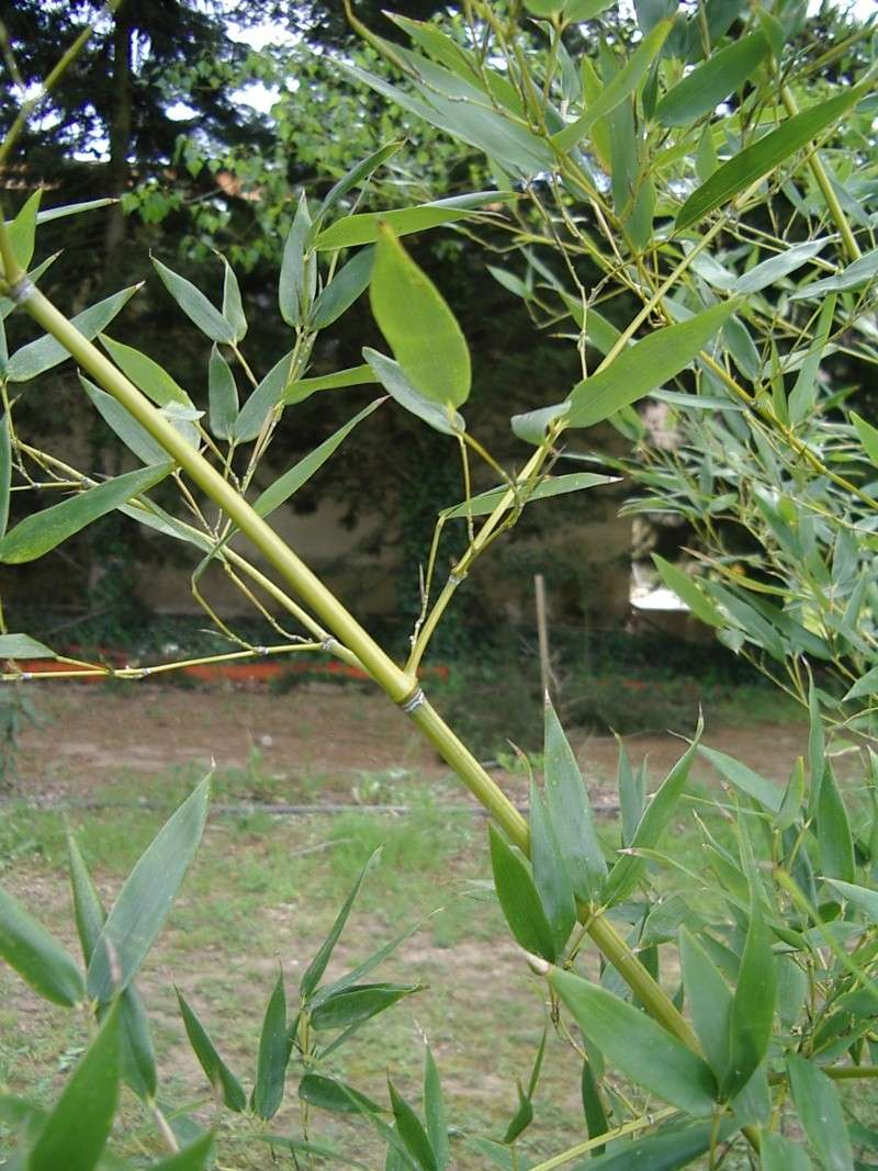 identifier un bambou Lion_514