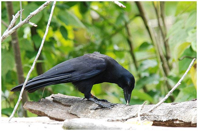 Le corbeau de Nouvelle Calédonie Corbea10