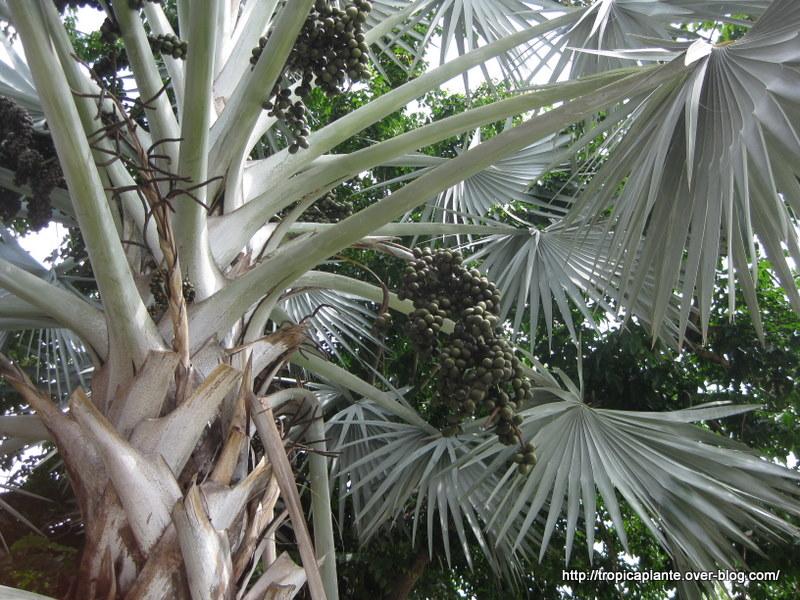 Bismarkia nobilis (Fruits) Img_8215