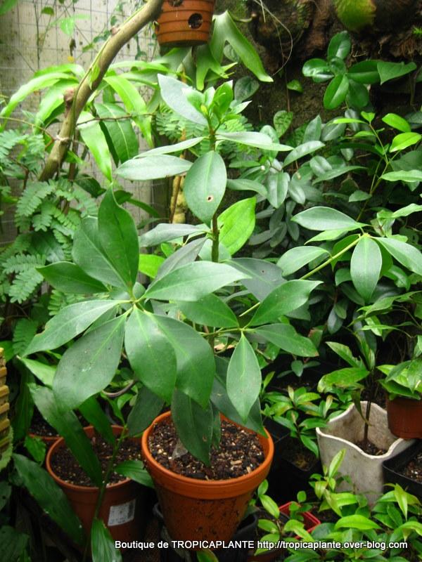 [Illiciaceae] Illicium verum, anis etoilé quelle region?!!! Img_8410