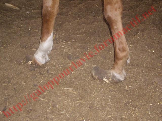 MANON  : un cas de maltraitance  Chevau15