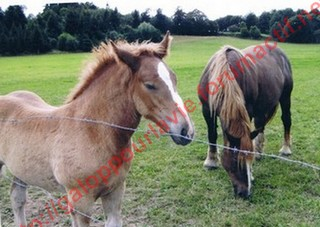 AMANDINE - OC trait Comtois X Breton - adoptée en février 2011 par Claire Trait11