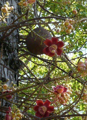 Couroupita guianensis - arbre à boulets de canon Arbre-10