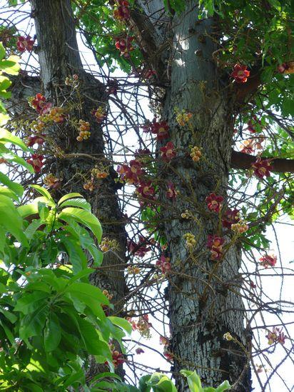 Couroupita guianensis - arbre à boulets de canon Arbre-11