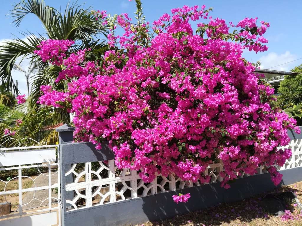 Bougainvillea - hybrides et cultivars Img_2010