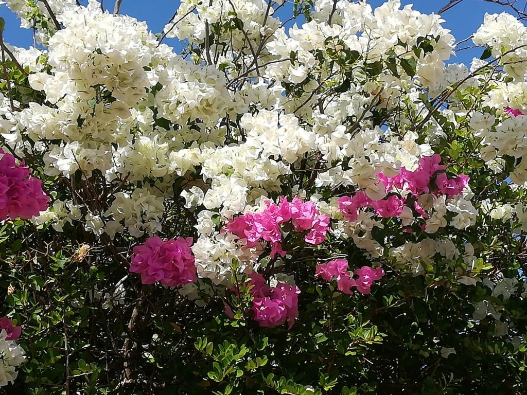 Bougainvillea - hybrides et cultivars Img_2012