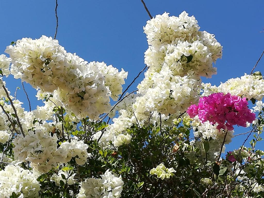 Bougainvillea - hybrides et cultivars Img_2013