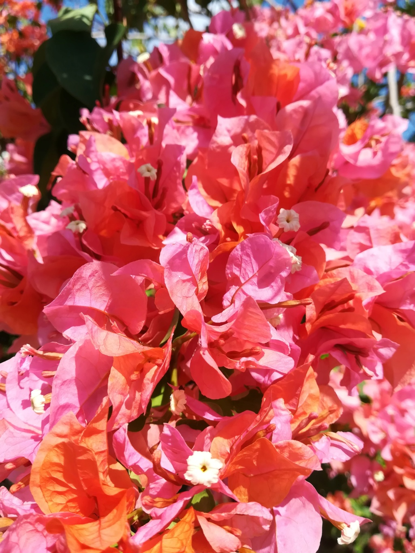 Bougainvillea - hybrides et cultivars Img_2014