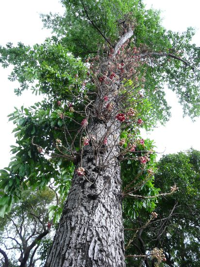 Couroupita guianensis - arbre à boulets de canon Jardin10