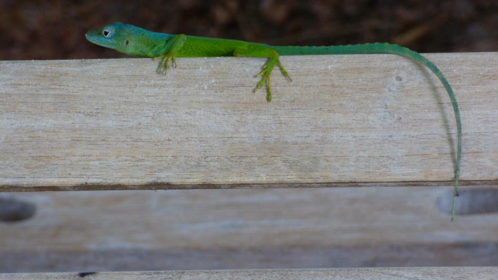 lézards et autres reptiles - Page 7 P1050112