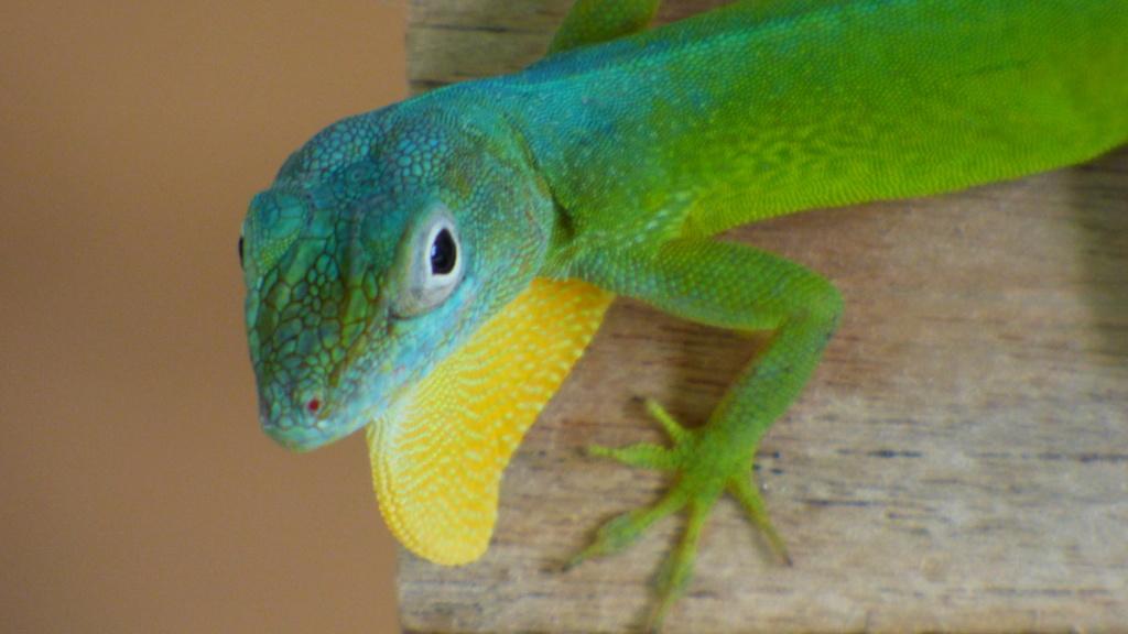 lézards et autres reptiles - Page 7 P1050114