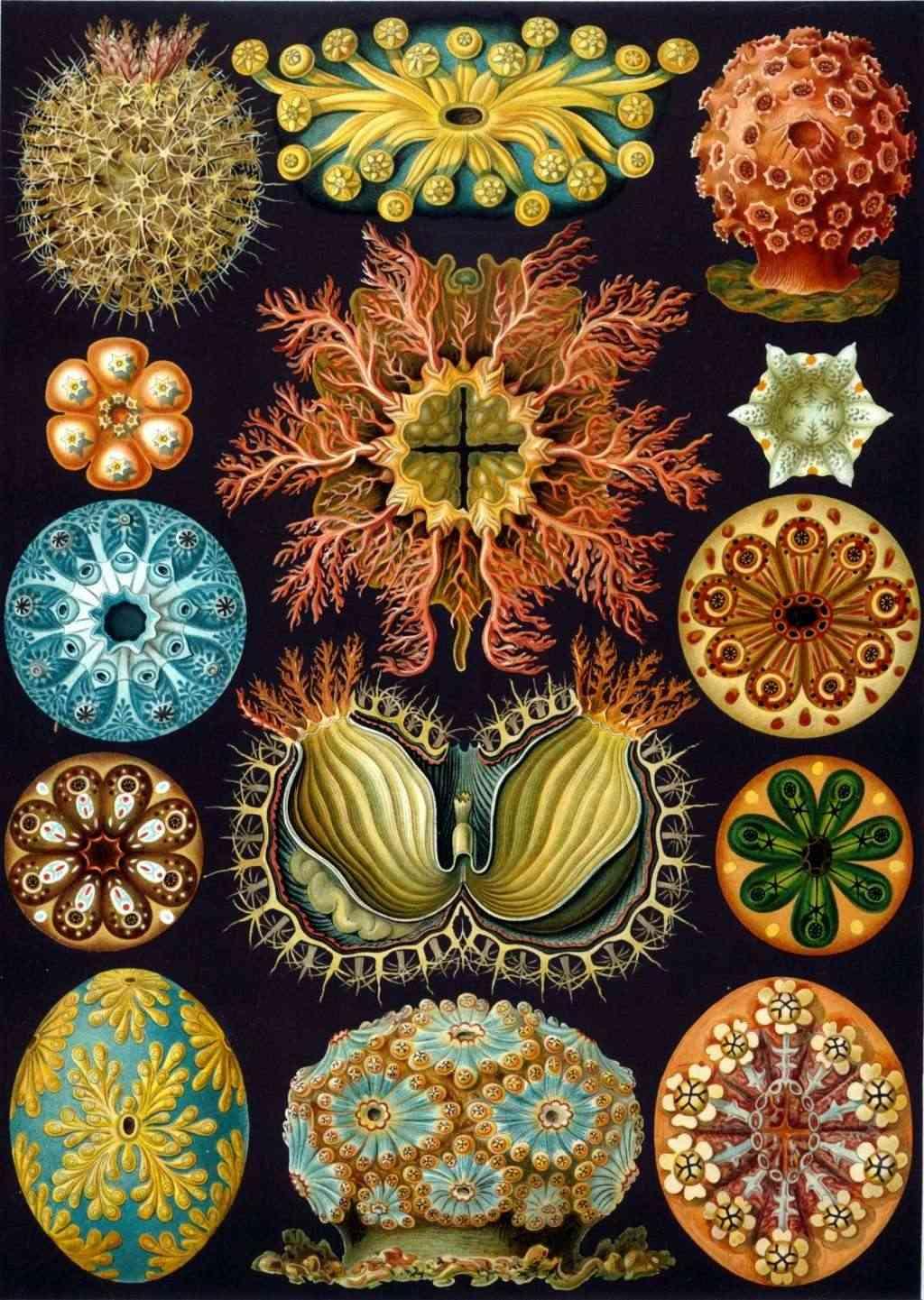 Ernst Haeckel - Kunstformen der Natur Haecke10