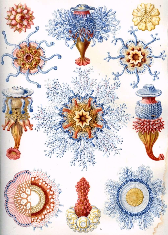 Ernst Haeckel - Kunstformen der Natur Haecke11