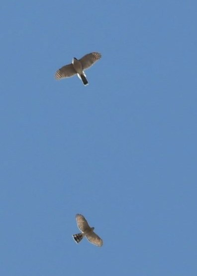 oiseaux de proie... à Québec 94031110