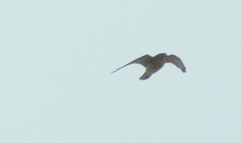 faucon à identifier Dscn5111