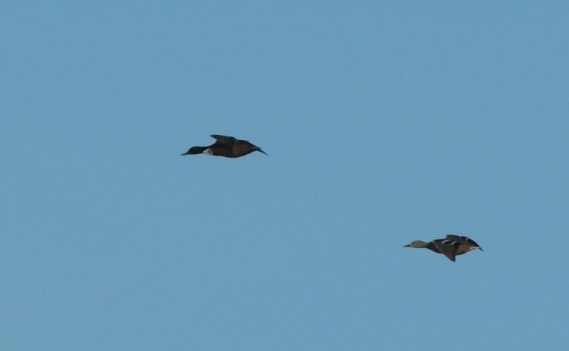 2 canards à id Dscn8516