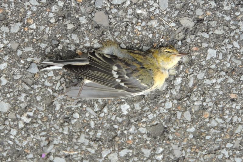 êtes-vous d,accord avec une paruline à poitrine baie? attention oiseau mort  Dscn9710