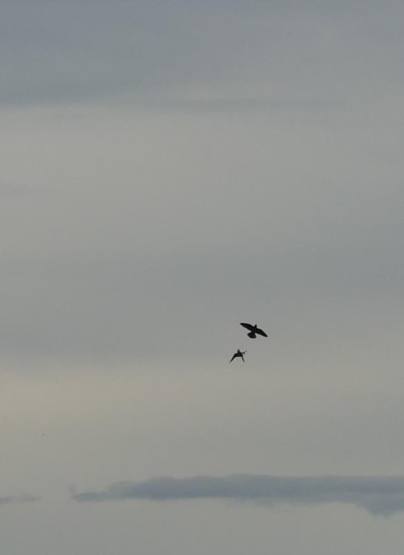 encore des oiseaux de proies à identifier P1520315
