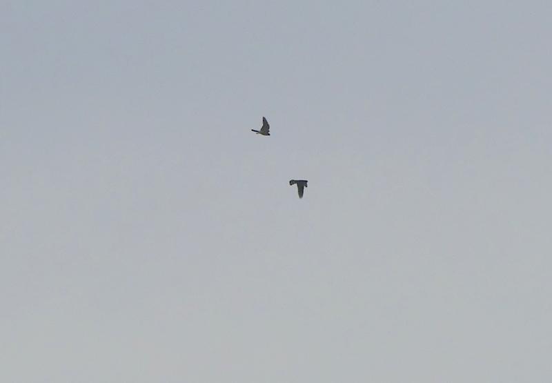 encore des oiseaux de proies à identifier P1520316