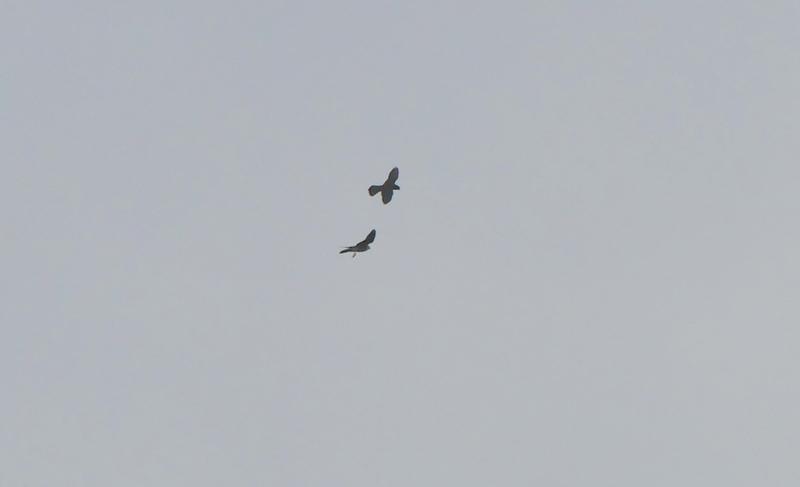 encore des oiseaux de proies à identifier P1520317