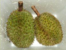 Eerste verse Durians bij Bud Holland Durian10