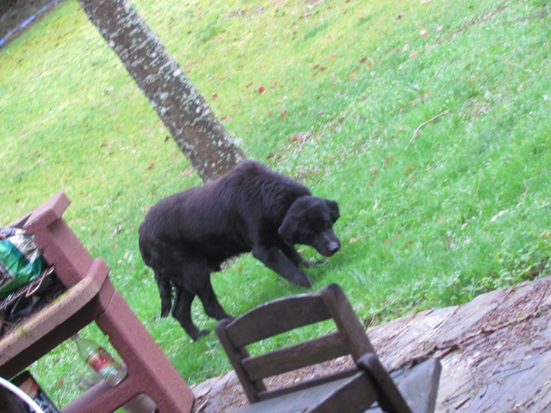 Wolf est en cours d'adoption !!!!!!!!!! Wolf adopté,puis avec son copain Doudou Img_1110