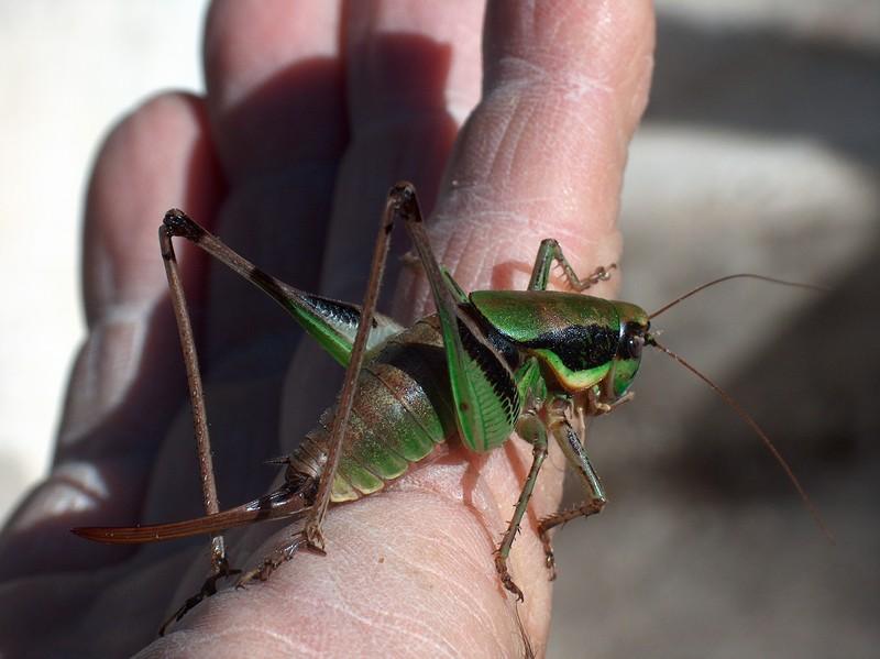 [Orthoptera] Sauterelles ou criquets ? Hpim0413