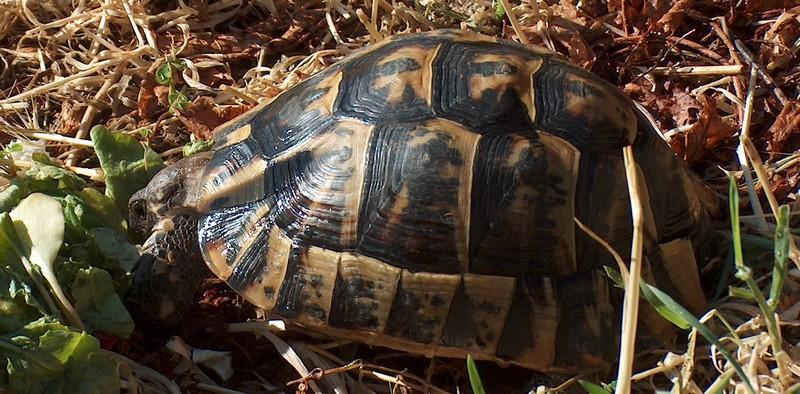 Ma tortue (pour le plaisir des critiques de Génia !!) Hpim1815