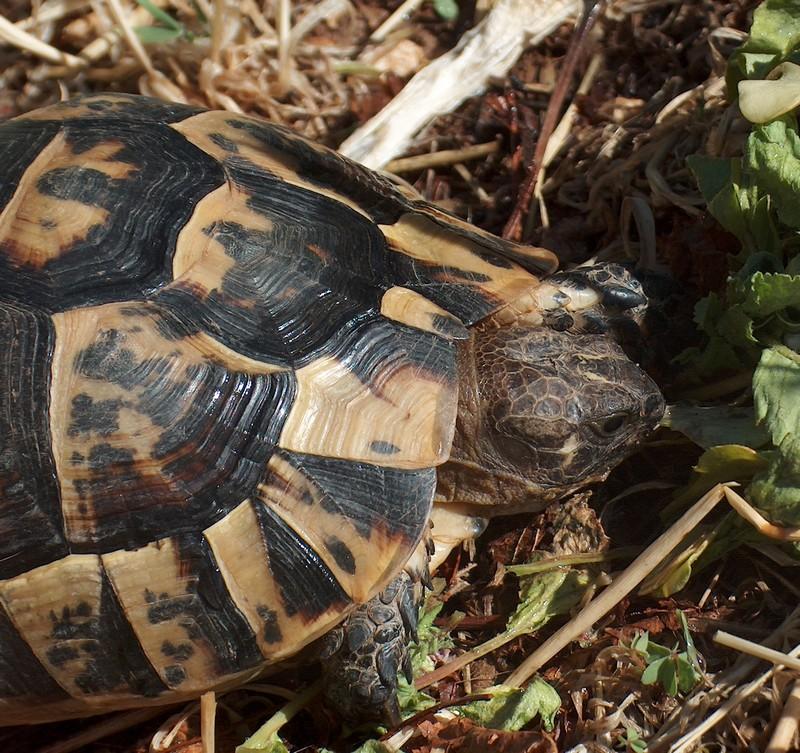 Ma tortue (pour le plaisir des critiques de Génia !!) Hpim1816