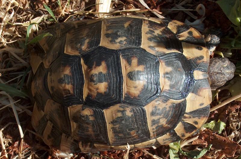 Ma tortue (pour le plaisir des critiques de Génia !!) Hpim1817