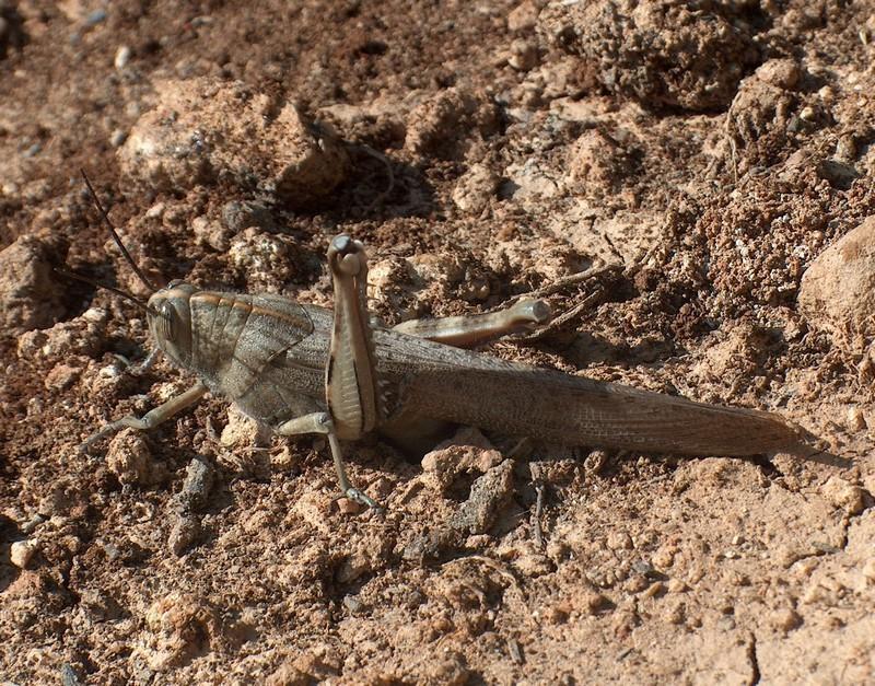 [Orthoptera] Sauterelles ou criquets ? Hpim4610