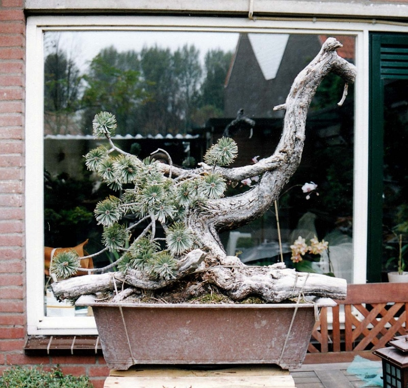 """LAST PICTURES OF MY MUGO PINE THE """"SWAN"""". - Page 2 11-01_10"""