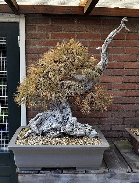 """LAST PICTURES OF MY MUGO PINE THE """"SWAN"""". - Page 2 12-7-210"""