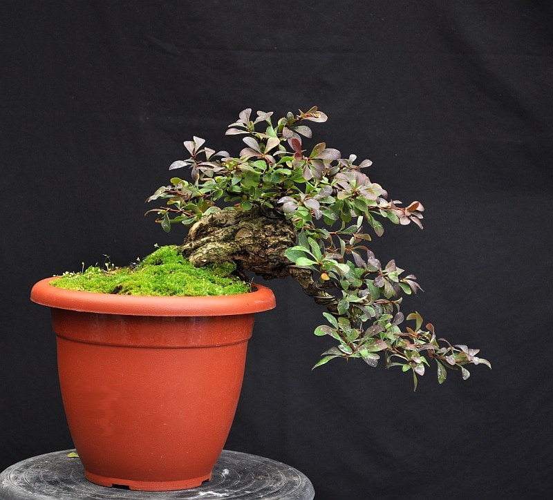 A YEAR IN THE LIFE OF A NEW BERBERIS SHOHIN. 19-9-210