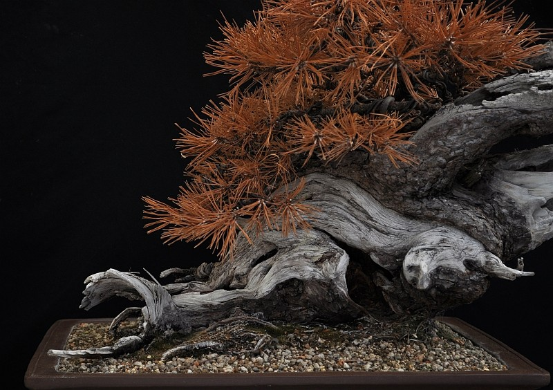 "LAST PICTURES OF MY MUGO PINE THE ""SWAN"". 21-9-212"