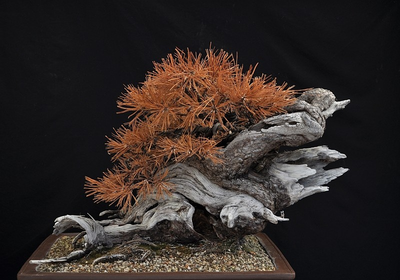 "LAST PICTURES OF MY MUGO PINE THE ""SWAN"". 21-9-213"