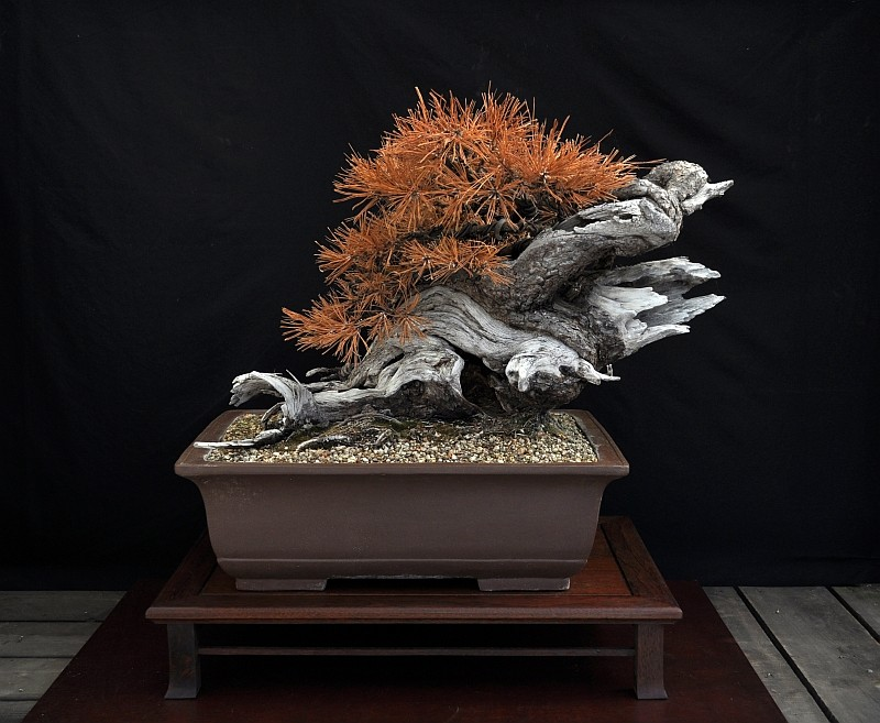 "LAST PICTURES OF MY MUGO PINE THE ""SWAN"". 21-9-214"