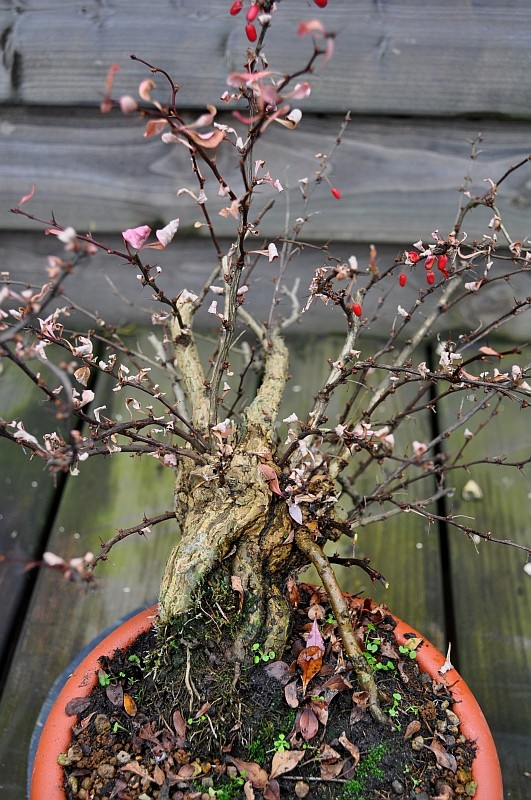 A YEAR IN THE LIFE OF A NEW BERBERIS SHOHIN. 28-1-211